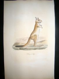 Saint Hilaire & Cuvier C1830 Folio Hand Colored Print. Cape Jerboa